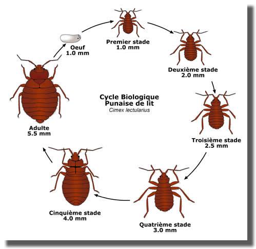 biologie reproduction cycle de la punaise de lit tout. Black Bedroom Furniture Sets. Home Design Ideas